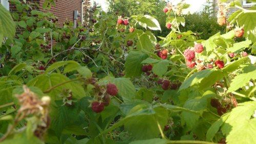 More raspberries