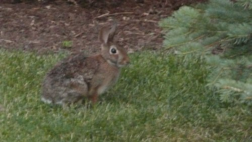 Shedding Wabbit, seen on my early morning run.