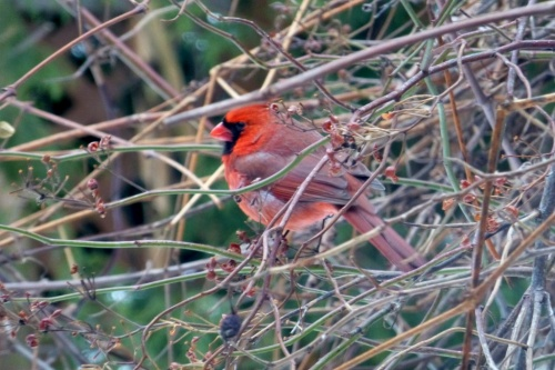 The cardinal by minus 20 C