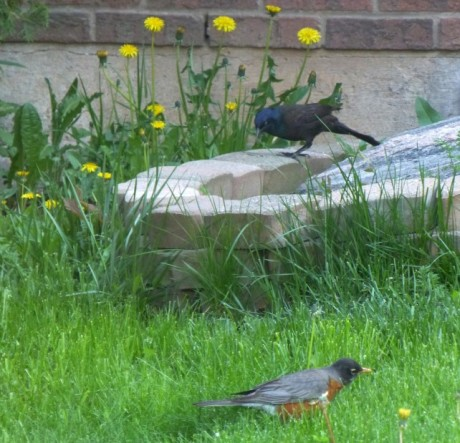 Foraging neighbours   American Robin and a common grackle