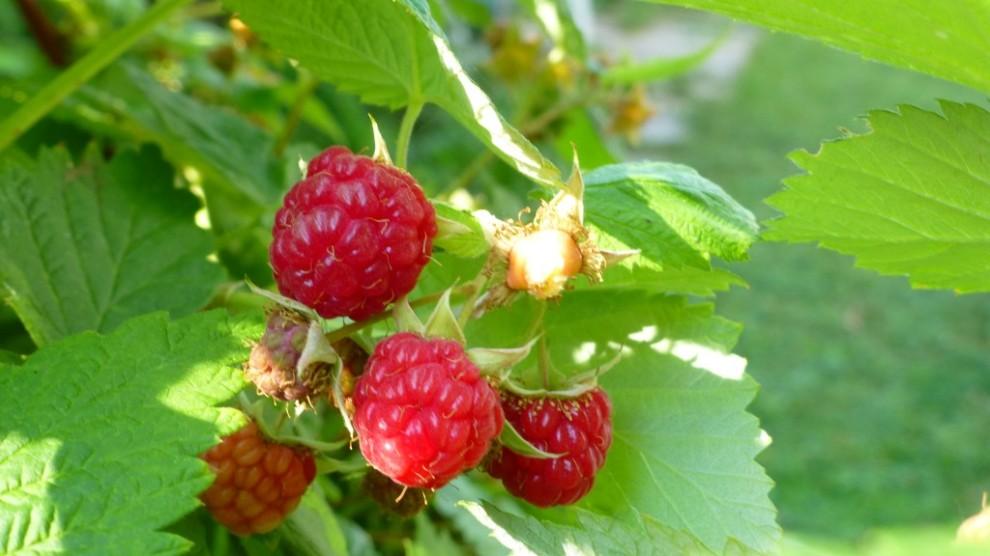 Rasberries a readily available desert