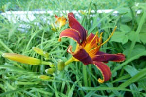 A blood-red day lily