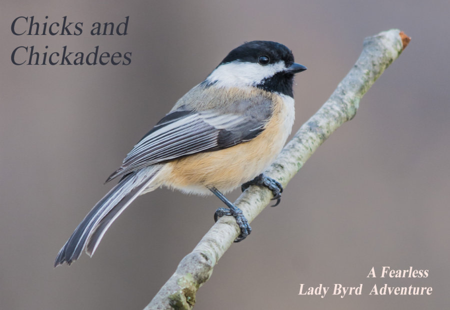 Black-capped Chickadee by Shutterstock